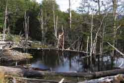 Un hermoso paseo por el bosque magallánico casi virginal