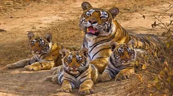 tigres madhya pradesh