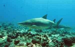 Adolfo entre tiburones