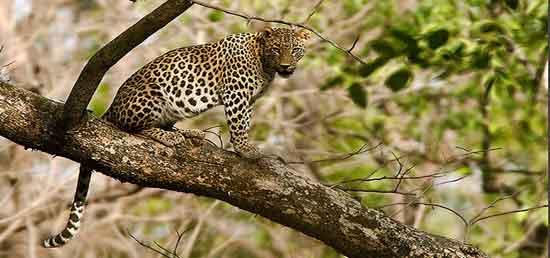 Kanha cuenta con una población importante de leopardos
