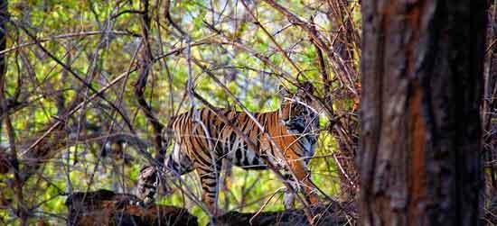 avistar a un tigre