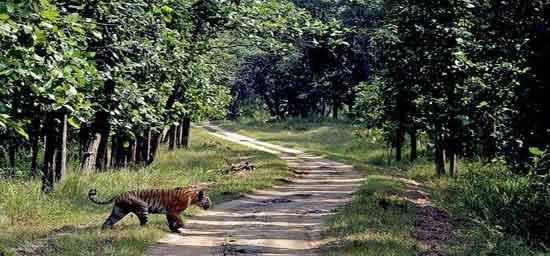 Hasta la hora del ocaso amarillo cuántas veces habré mirado al poderoso tigre de Bengala… (El oro de los tigres - Jorge Luis Borges)