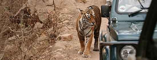 Ningún otro parque nacional ofrece tanta variedad en modos de avistamiento de tigre como el de Kanha