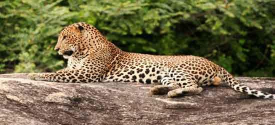 leopardo en Parque Nacional Yala