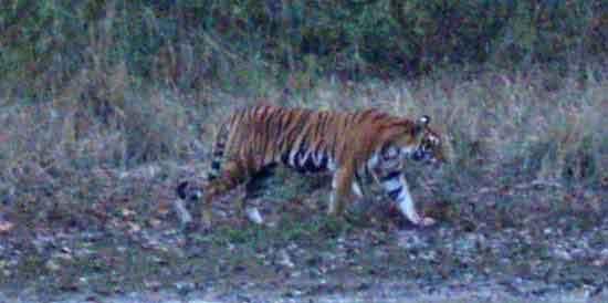 Tigre en Kanha (foto de Miguel e Iván)