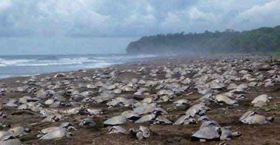 Uno de los principales atractivos del Parque Nacional Tortuguero es el desove de las tortugas marinas en sus playas.