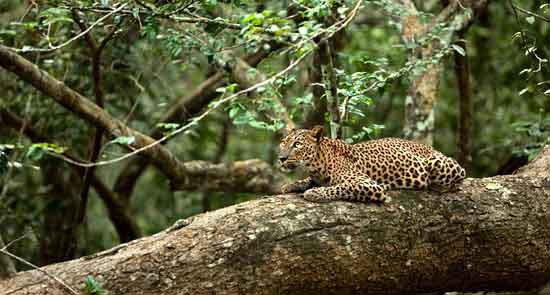 El leopardo de Sri Lanka (Panthera pardus kotiya) es la subespecie endémica de la isla