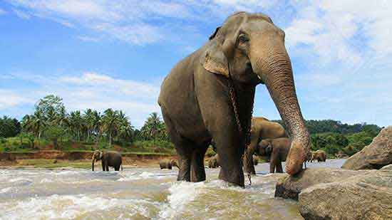 una enfadada madre elefanta de Pinnawala