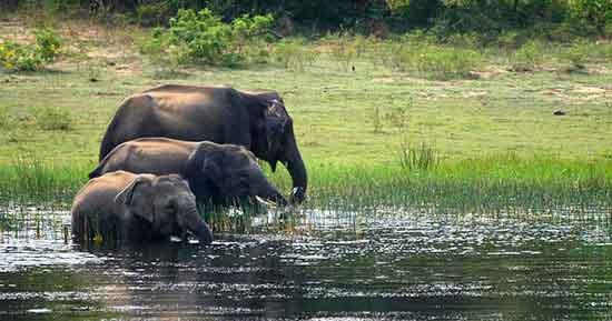 Elefantes en el Parque Nacional de Udawalawa (su principal atracción)