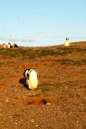 Pingüino magallánico.