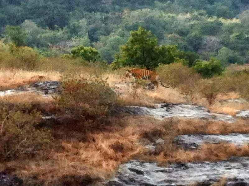 Tigre en Bandhavgarh.