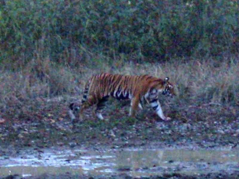 Tigre en Parque Nacional de Kanha.