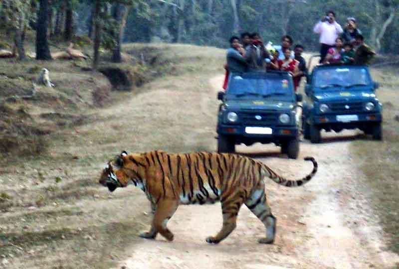 Tigre en Parque Nacional de Pench.