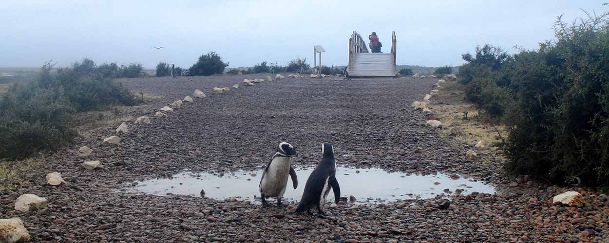 Punta Tombo, colonia de Pingüino de Magallanes en la Patagonia argentina