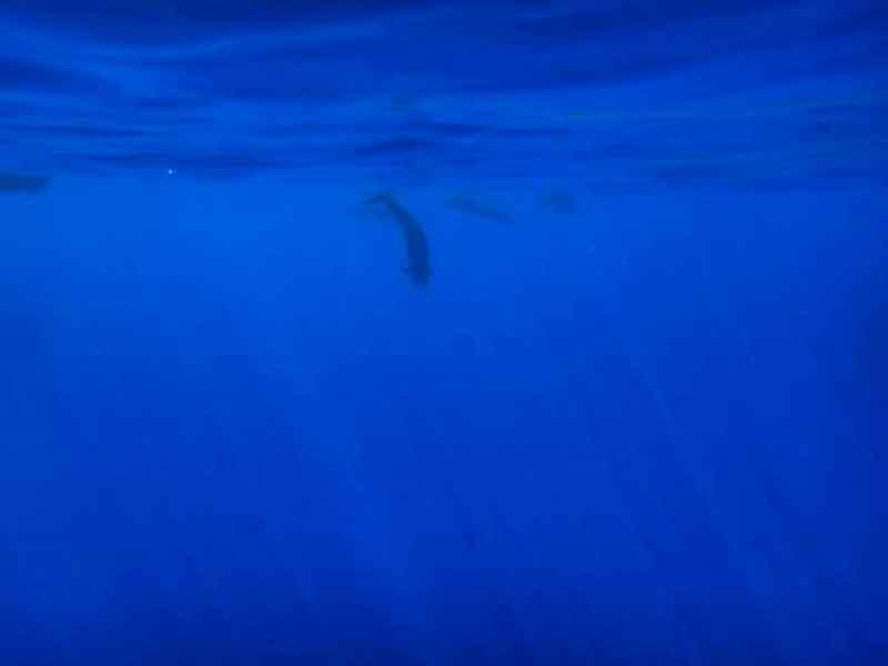 Ballenas en aguas de Rurutu