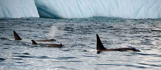 BUQUE USHUAIA orcas
