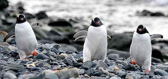 gentoo_pinguinos