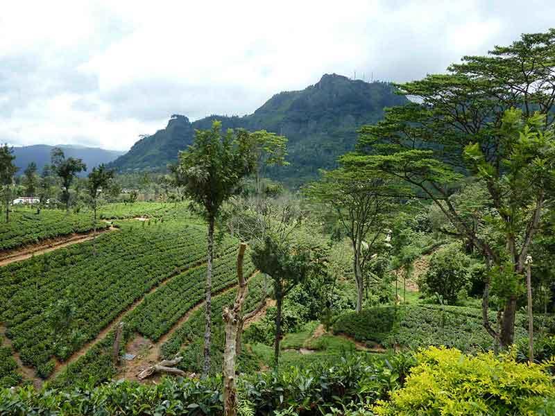 Plantación de té cerca de Nuwara Eliya