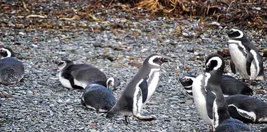 Pingüinos de Magallanes, Islotes Tuckers. Crucero Australis - Marta y Juan.