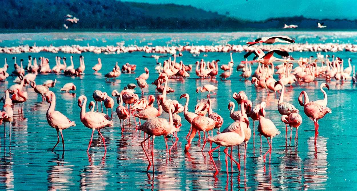 Qué ver en Kenia - pink flamingo - lago Nakuru