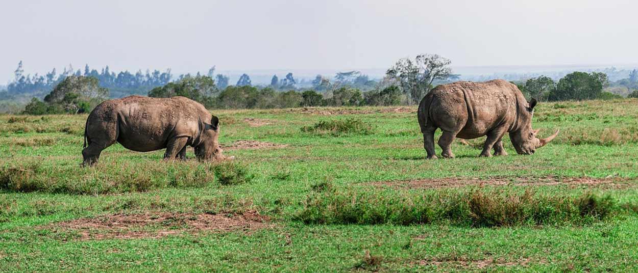 Qué ver en Kenia - Rinocerontes negros en Ol Pejeta