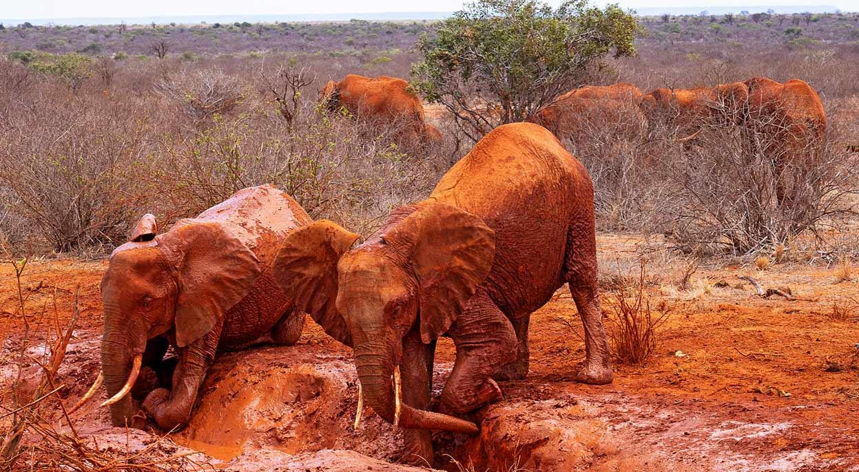 Elefantes rojos de Tsavo - Qué ver en Kenia - Image by schliff from Pixabay
