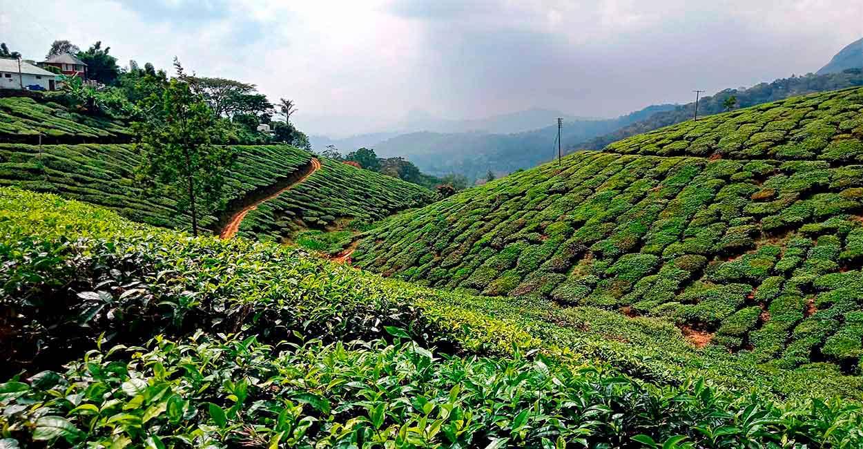Campos del té en Munnar