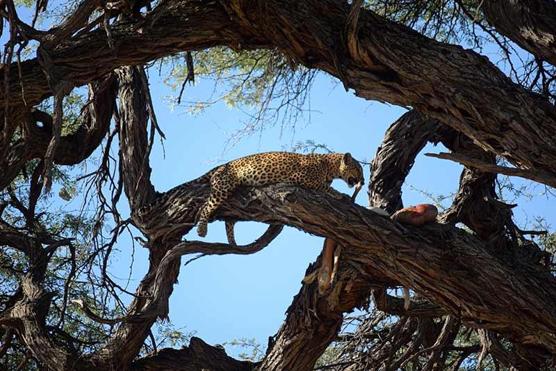 Un leopardo en el árbol en Savute