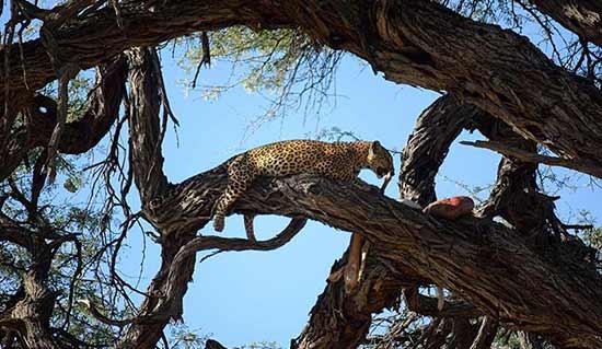 Opinión de Viaje a Botswana y Cataratas Victoria: un leopardo en el árbol en Savute (foto de Carmen y Ángel