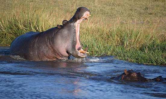 Opinión de Viaje a Botswana y Cataratas Victoria: los hipopótamos te reciben al llegar. Es impresionante lo cerca que están y lo bonitos que son.