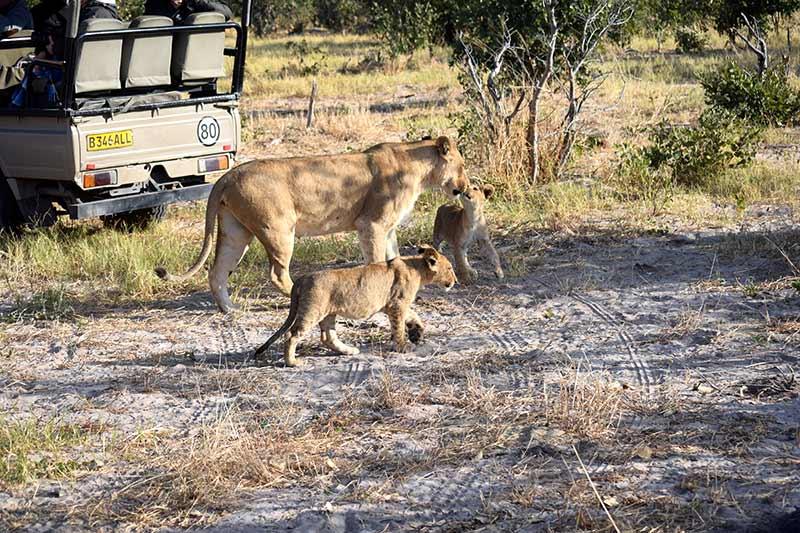 Una leona con las dos crias en Savute