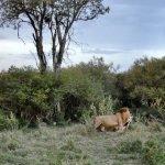León con presa Gacela de Thompson