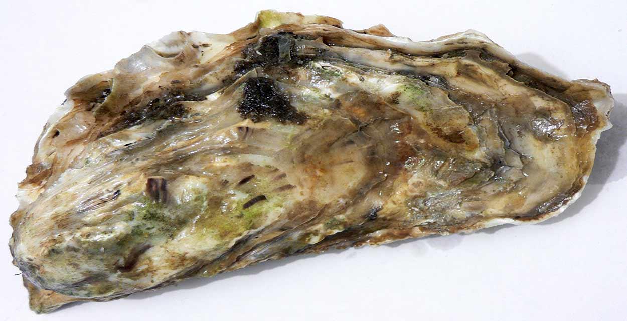 Ostra dalmata - qué comer en la costa de Croacia