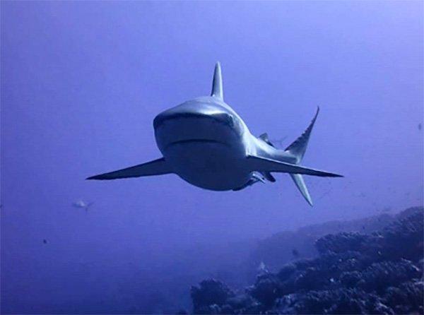 Testimonio de buceo en Polinesia Francesa de Marta y Asier: un tiburon en aguas de Fakarava Norte