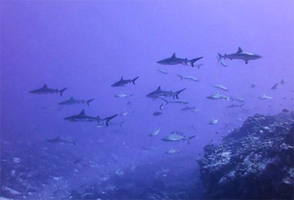 Testimonio de buceo en Polinesia Francesa de Marta y Asier: tiburones (puntas plateadas, puntas negras, ,…) en aguas de Fakarava Norte