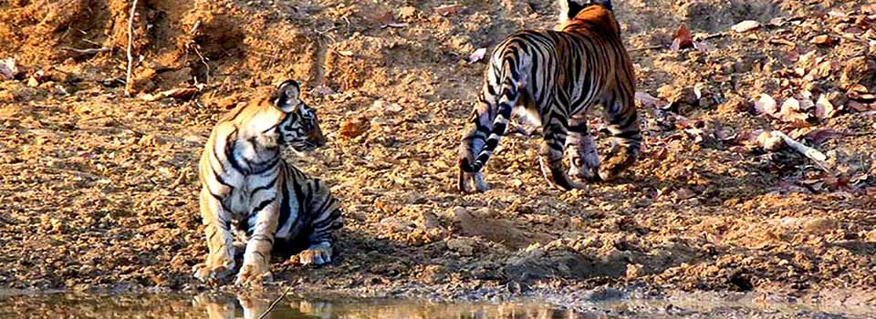 sele_tigres