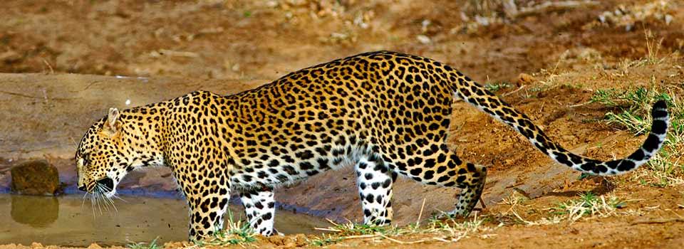 leopardo, Yala