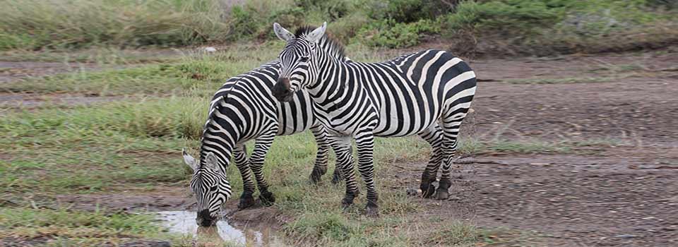 slider_zebras