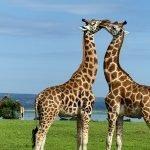 Safari a Uganda de Amparo 03