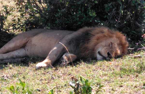 Opinión de viaje a Kenia y Uganda de Angelika, Marta, Nefo y Óscar: un león en Serengeti