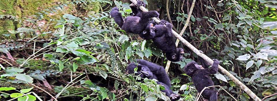 Bebes de Gorila de Montaña, Parque Nacional Bwindi