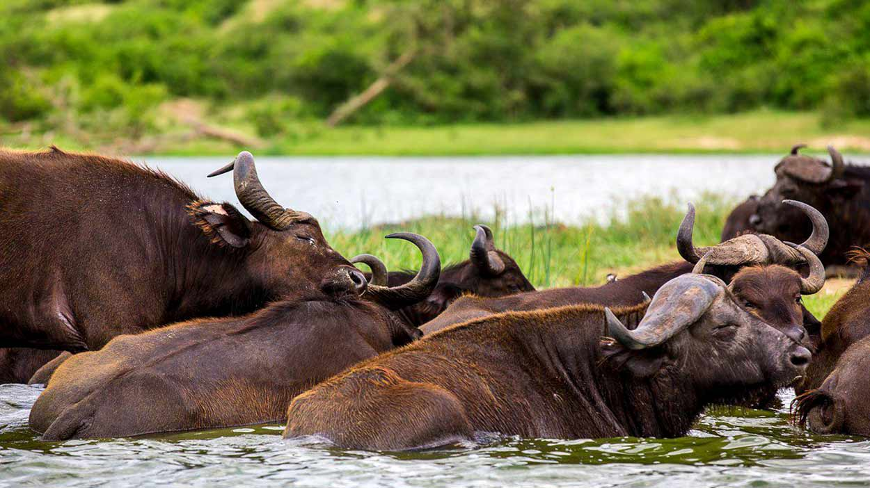 Búfalos en el Parque Nacional Queen Elisabeth, el más visitado del turismo de Uganda