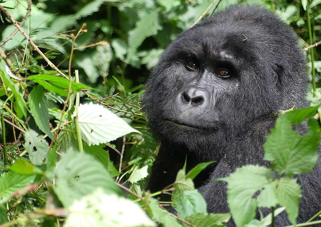 Gorilas del Parque Nacional Bwindi son probablemente la imagen más difundidasdel turismo de Uganda