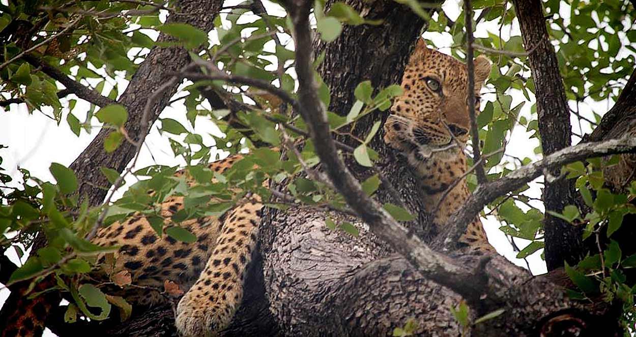 Parque nacional Chobe es la parte especialmente célebre del turismo de Botswana por la densidad de su población de leopardos