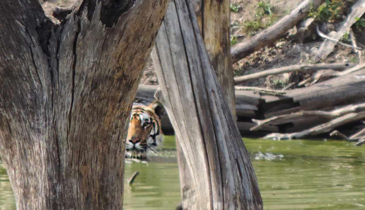 Un tigre del Parque Nacional Pench, uno de los 9 parques nacionales de Turismo de India