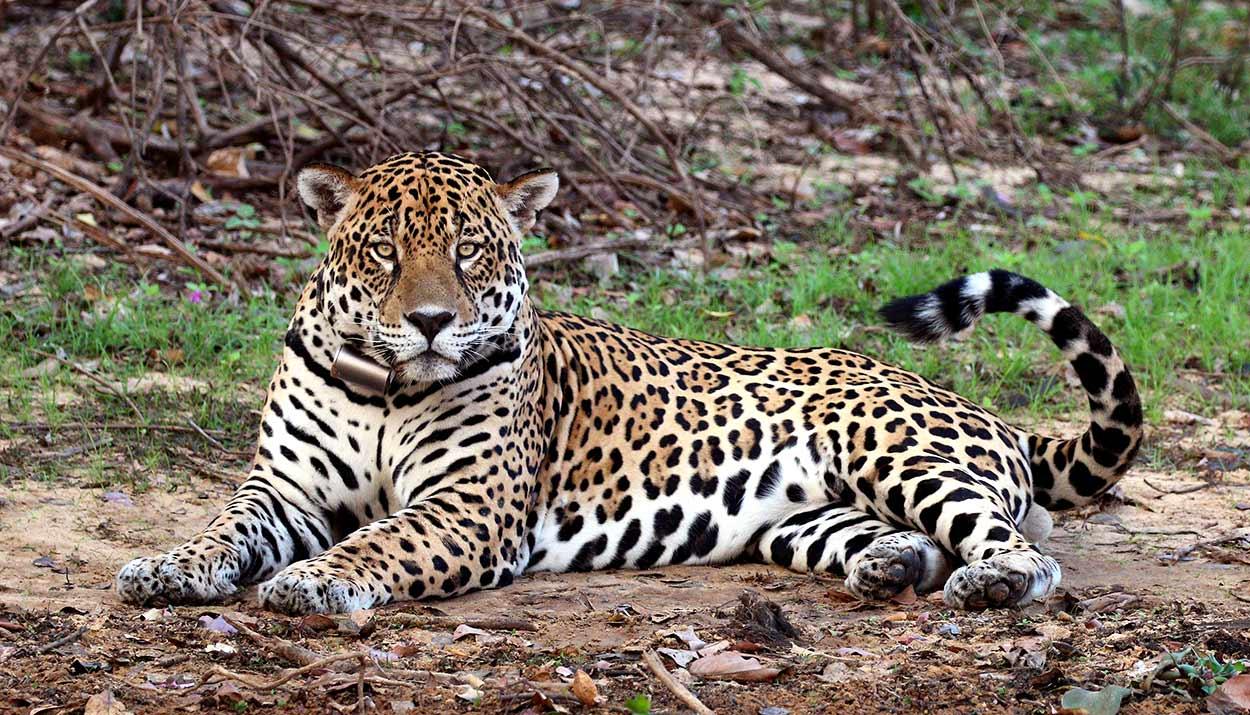 Un jaguar descansando en la orilla del Río Negro, una de las imagenes más impactantes del turismo de Brasil By Charlesjsharp [CC BY-SA 4.0], from Wikimedia Commons