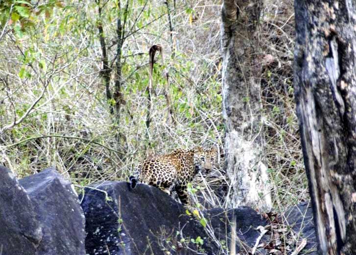 Testimonio de safari de tigres en India de Patricia y Jose: un leopardo.