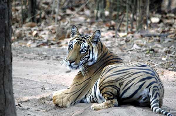 Testimonio de safari de tigres en India de Patricia y Jose: nuestra prioridad era intentar buscar, ver y fotografiar tigres...