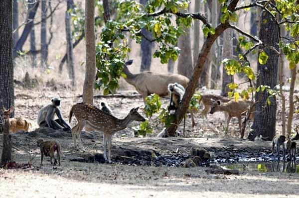 Testimonio de safari de tigres en India de Patricia y Jose: abundancia de presas para tigres de Bengala