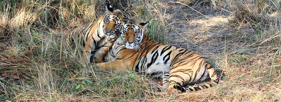 Una tigresa de Bengala con su cahoro